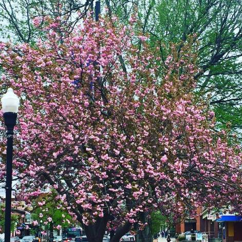Blossoms in Amherst, MA